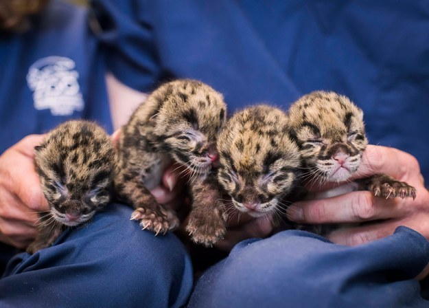 Quadruplet clouded leopard cubs were born at the Point Defiance Zoo and Aquarium in Tacoma, Washington.