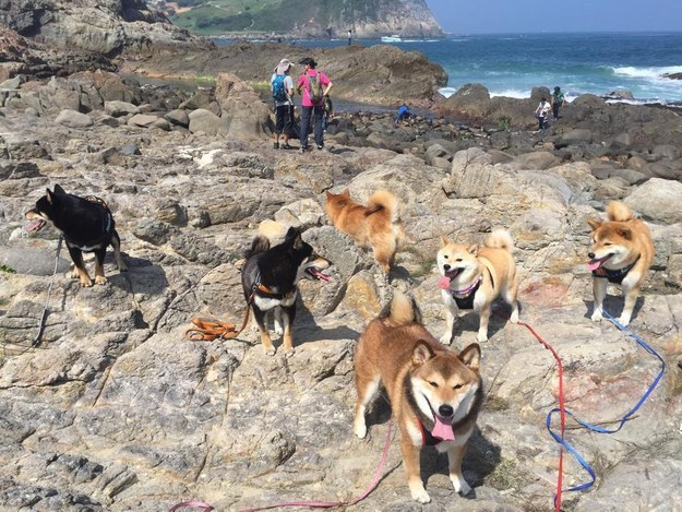 Beach days might look like total chaos  but we ve got it under. 16 Photos Of The Most Adorable Shiba Family   Totally Nailed It