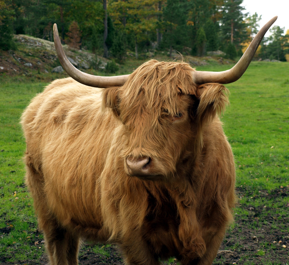 19 Highland Cows Who Are Fresher Than You