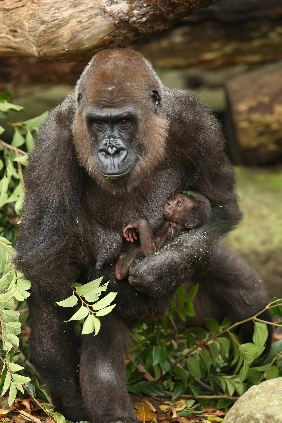 """""""The baby is strong, healthy, [has] good coloration, gripping on really tight, and we've seen a lot of suckling, which is a really good sign,"""" Lisa Ridley, the primate keeper, told ABC News Australia."""