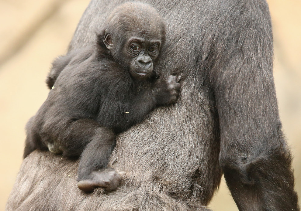 """""""This new infant is great for young Mjukuu as a future playmate. Socialisation is such an important thing for gorillas,"""" noted Primate Supervisor Lou Grossfeldt."""