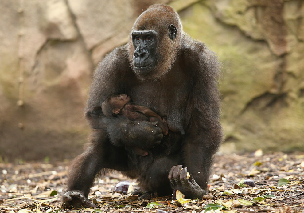 The baby's mother, Frala, is Western-lowland gorilla. The father, Kibali, is a Silverback.