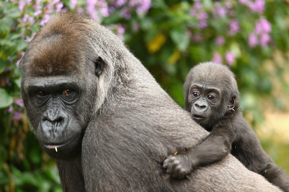 This is actually the second baby born to gorillas in the last seven months. Gorilla baby Mjukuu was born in 2014.