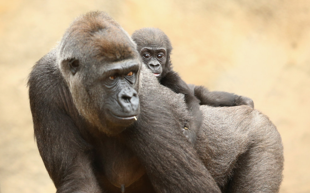Two gorilla babies? One zoo? Better book your ticket to Sydney now.