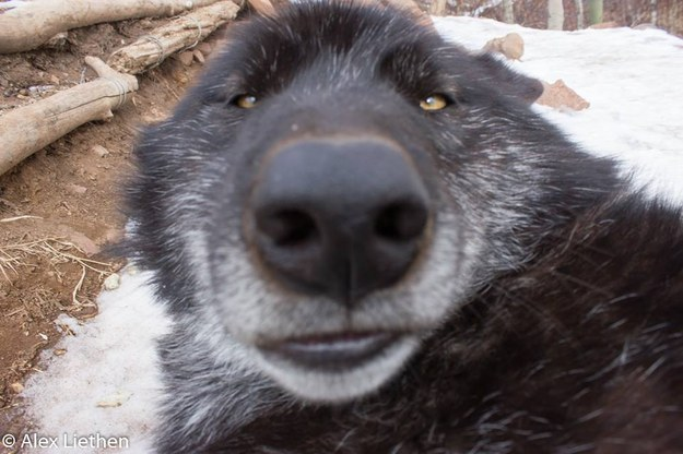 19 Times Wolves Were The Absolute Champions Of Cuteness