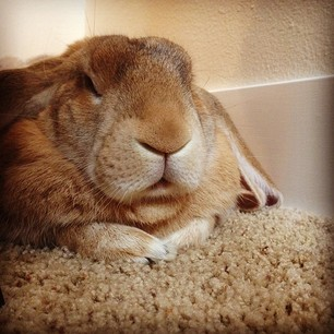 This is your bunny when you do anything that does not involve feeding him.
