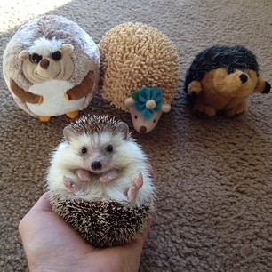 """I am not cuddly toy. I am hedgehog."""