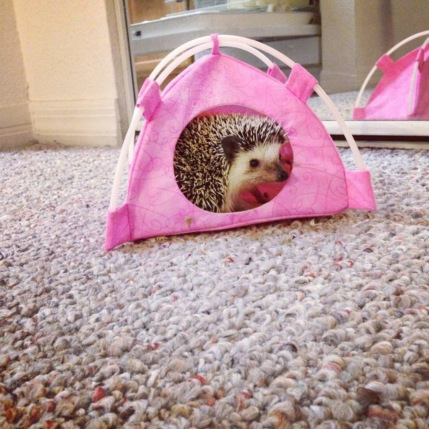 """I am not seasoner camper. I am hedgehog."""