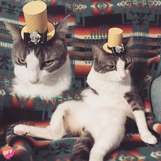 Cats are elegant models and love to show off fancy accessories.