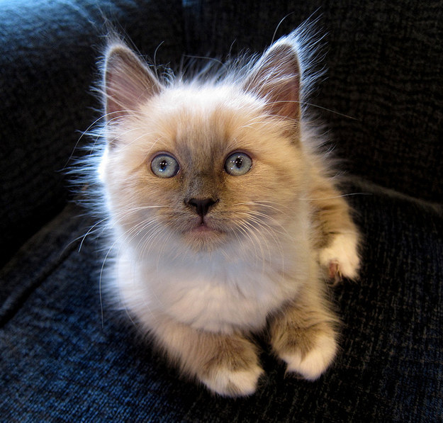 And finally, this little Ragdoll kitten who deserves all the kisses in the entire world because she is the QUEEN of cuteness.