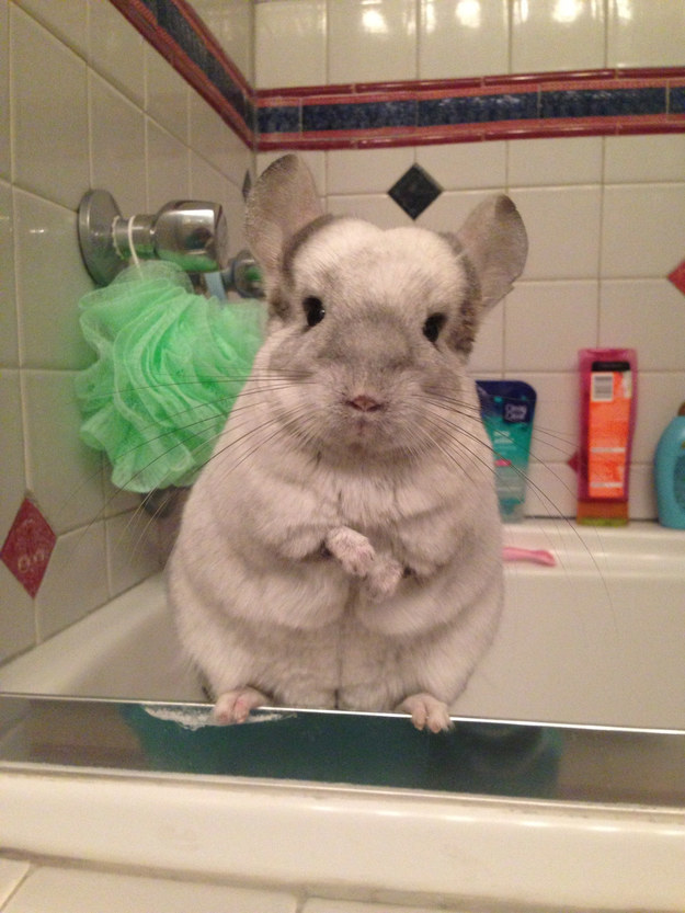 This chinchilla gearing up for bath time.