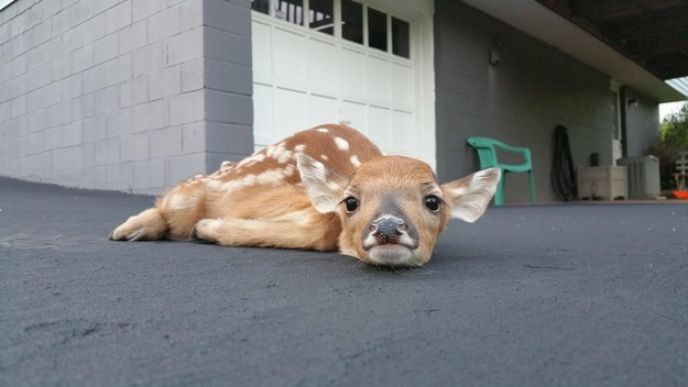 This lil' fawn having a snooze in her neighbor's driveway.