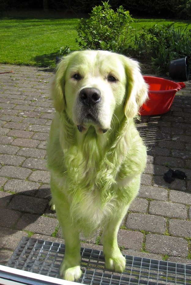 This Golden Retriever who just rolled around in freshly cut grass.