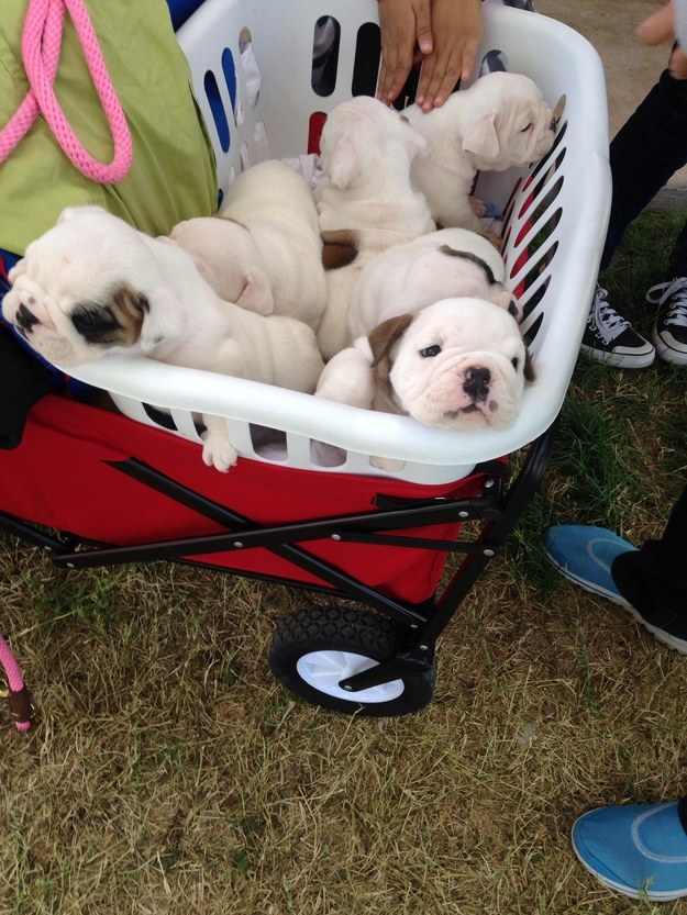 This wrinkly puppy basket of perfection.