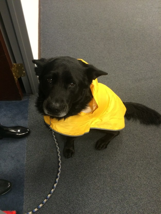 This pup who reaaally doesn't wanna go out in the rain but he'll do it just to get the mail for you!