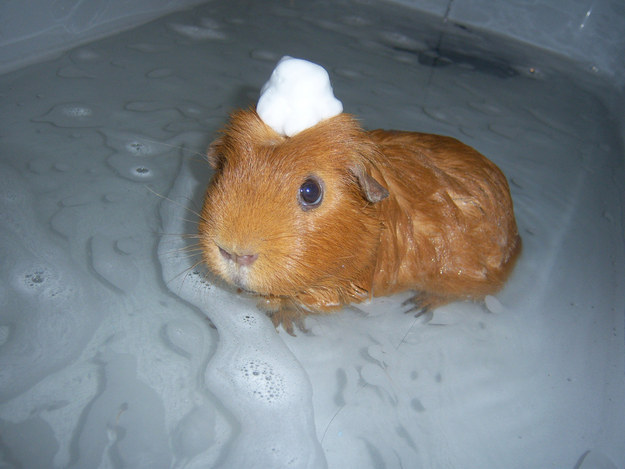 THIS PIGLET WITH A SHAMPOO HAT.