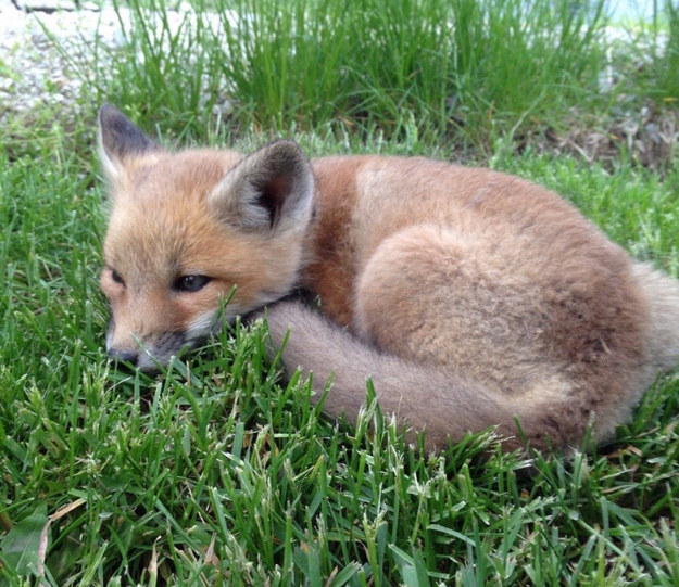 And this fuzzy fox kit who really needed a nap.