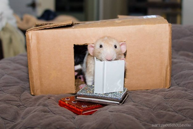 This lil' rattie catching up on some very important reading.
