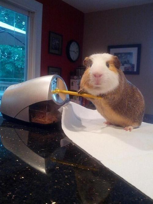 This guinea pig who is about to get some serious work done.