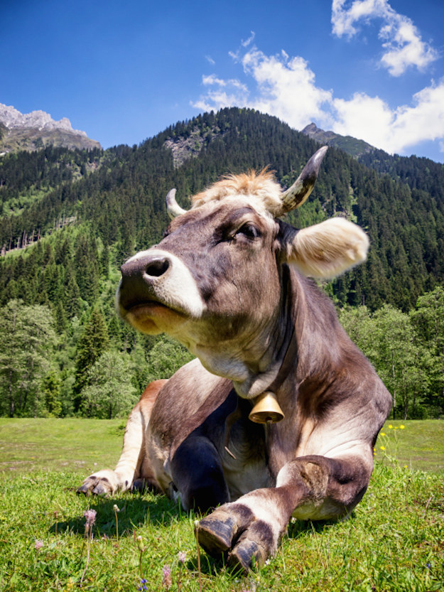 A bull that was on the verge of being castrated in Austria on Wednesday retained its manhood by knocking down and injuring the operating veterinarian, according to police.