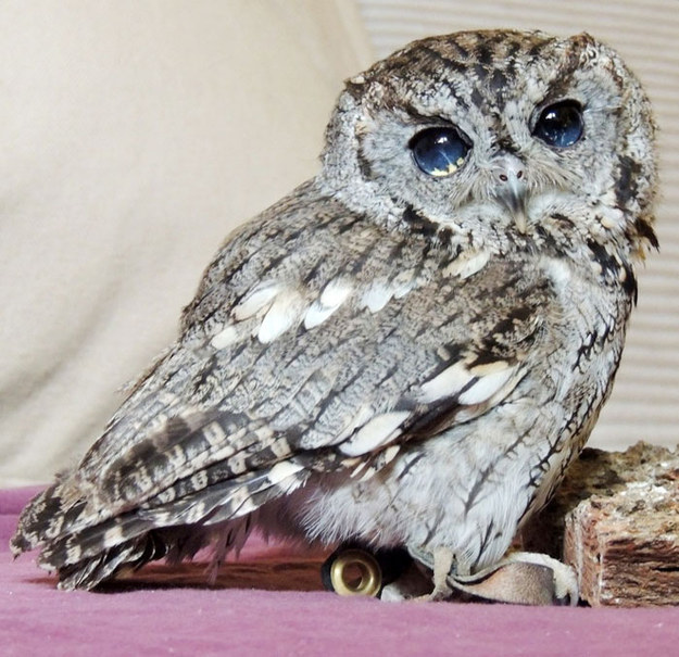 "He might be the most stunning screech owl ever; he, appropriately, gets his name from the ""Greek god of sky and thunder."""