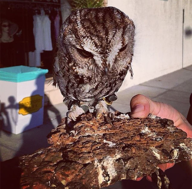 "He's a blind screech owl who currently lives at the Wildlife Learning Center in California, which ""rescues wildlife and educates the public about the environment."""