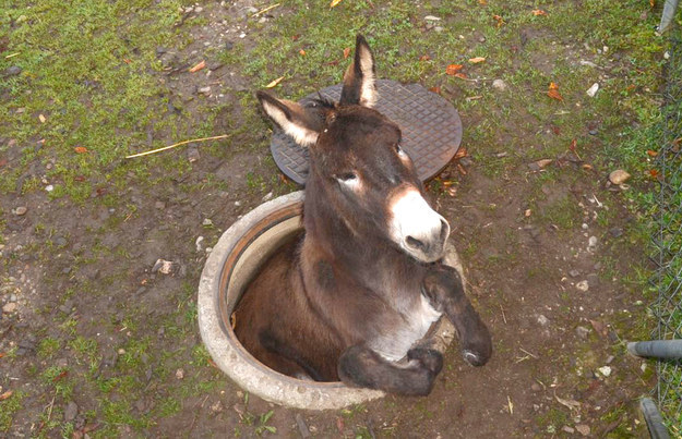 This Donkey Is Done With Being Stuck Down This Manhole