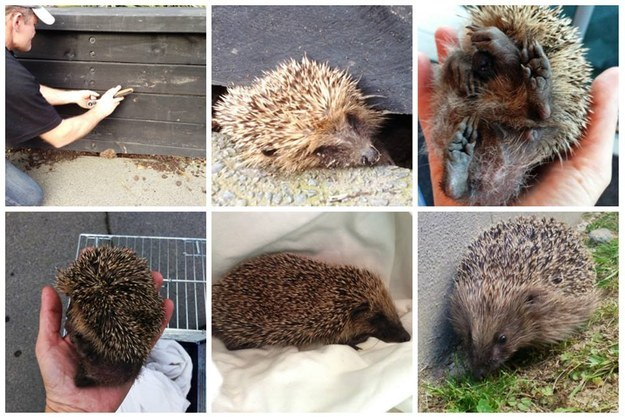 If you find any hurt or troubled hedgehogs in New Zealand, be sure to notify the Hedgehog Rescue New Zealand Facebook page.