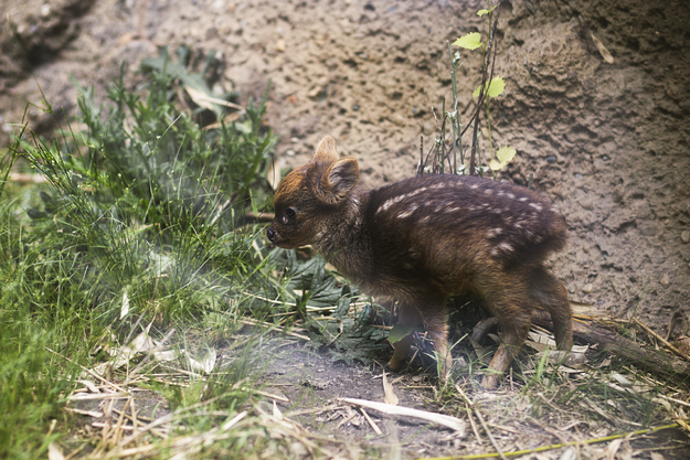 If you would like to visit the baby pudu, he and his parents are on exhibit at The Wildlife Conservation Society's Queens Zoo.